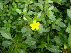 Jussie-Plante envahissante